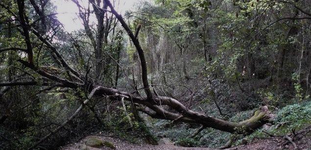 El cirerer més gran catalogat al Maresme, tombat per culpa de la tempesta de vent i neu del març.