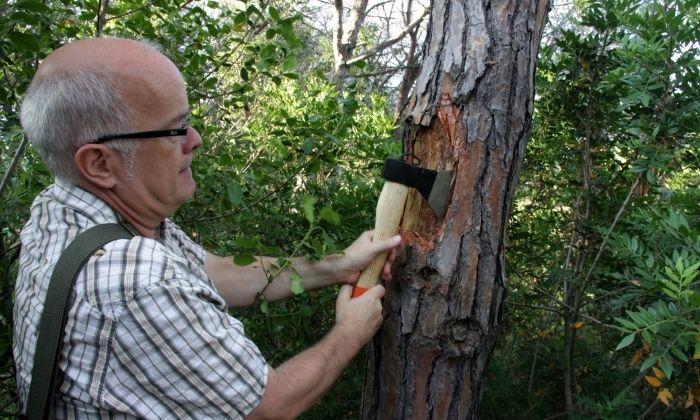 L'enginyer forestal del Consell Comarcal del Maresme (CCM), Oriol Bassa, retira l'escorça d'un pi afectat per l'escarabat 'tomicus'. Imatge del juliol de 2016.