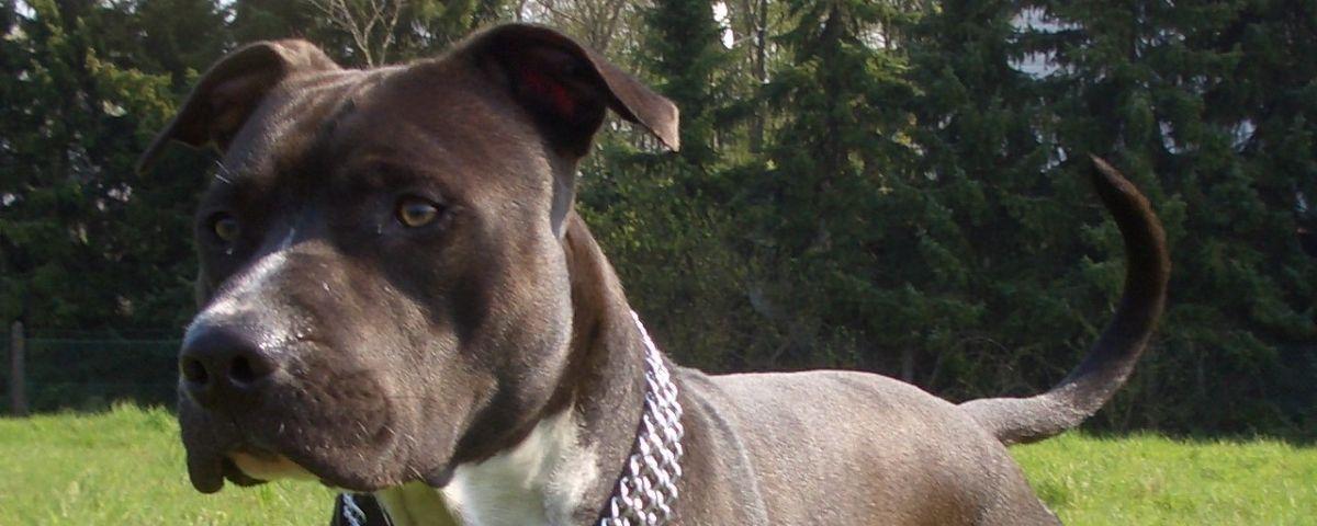 Un gos de la raça American Staffordshire
