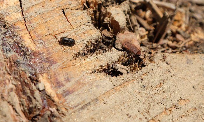 L'escarbat Tomicus, en el tronc d'un arbre mort pels efectes d'aquesta espècie. Fotos. R. Gallofré