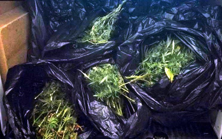 Imatge de la marihuana comissada