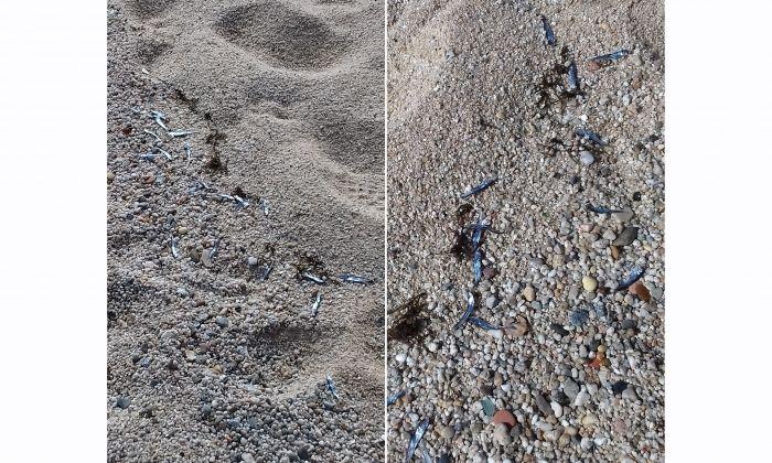 Peixos morts a la platja de Sant Simó
