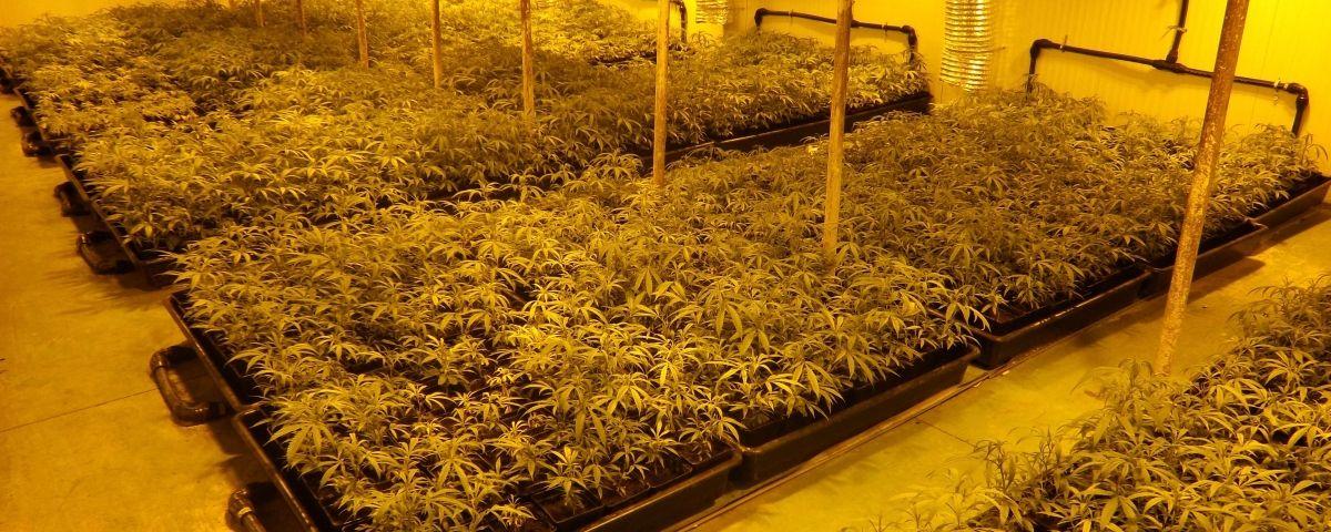 Imatge de la plantació de marihuana. foto: Mossos