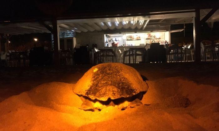 La tortuga, a la platja. Foto: Cedida per El Xiringuitu