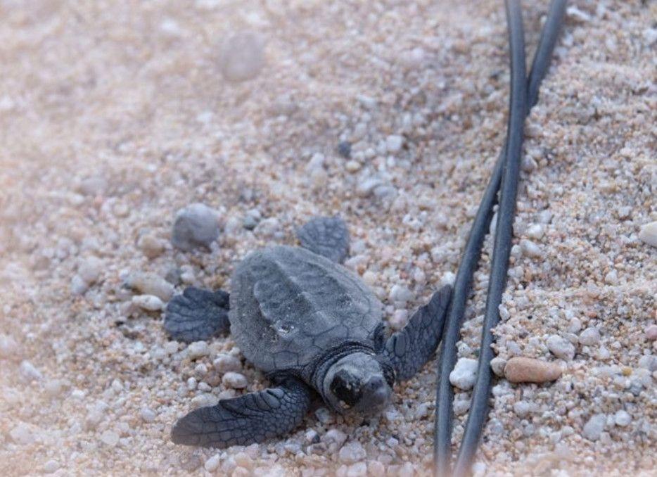 Una de les tortugues que també va néixer al Maresme, a Mataró, ara fa un mes.