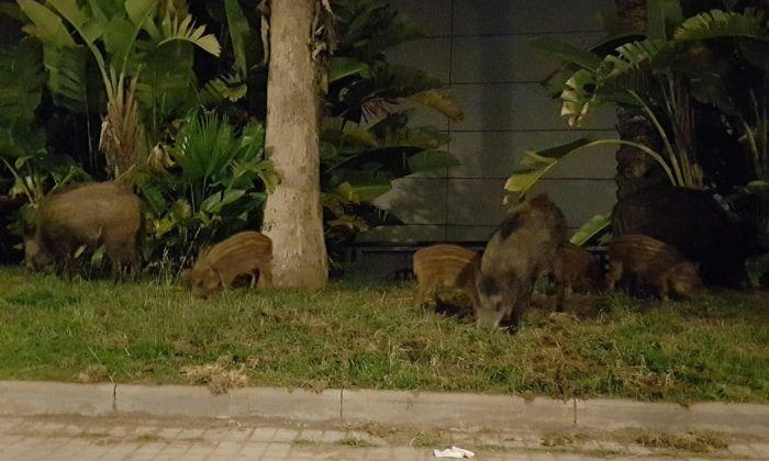 Imatge dels senglars a tocar del centre comercial