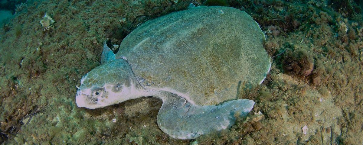 La tortuga fotografiada al mar mataroní. Fotos: Susi Navarro