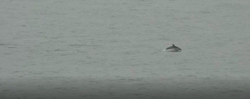 Captura de vídeo dels dofins a la platja de Mataró. Vídeo: Enric Sagristà